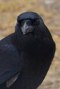 portrait of a Maine-residing American Crow (Corvus brachyrhynchos)