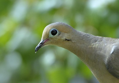 the eye of the Mourning Dove