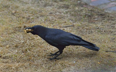 Crows are opportunistic omnivores and they love peanuts.  As with any food, when the opportunity is at hand, they will grab as much as they can of the food and take it to a safer area, off the ground.  This crow is increasingly becoming accustomed to me and is about 15 feet distance from me in this image.  The Gray Squirrels that live around here, apparently do not eat these in-shell peanuts, but rather will take the peanut and go to an area nearby and bury it.      I more often feed both the Crows and Squirrels a limited amount of shelled peanuts and just lately bought a bag of in-shelled ones.   Quick, quality reference: http://animaldiversity.ummz.umich.edu/accounts/Corvus_brachyrhynchos/
