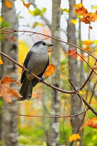 Canada Jay, Moose Jay or Gray Jay, northern Maine in Autumn