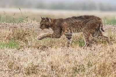 Bobcat - San Bernard NWR, TX