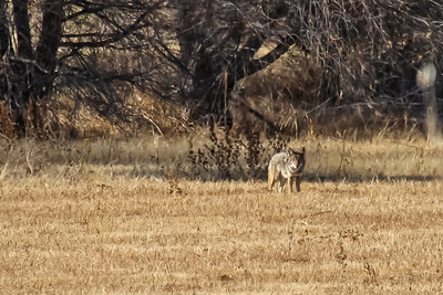 Coyote - Bosque del Apache NWR, NM