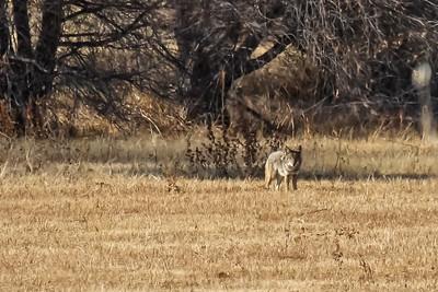 Coyote - Bosque del Apache NWR, NM