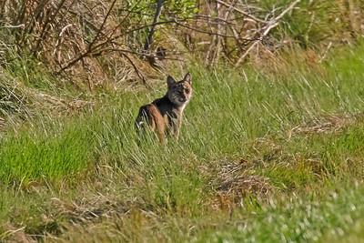 Bobcat - Anahuac NWR, TX