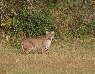 Bobcat - Brazoria NWR, TX