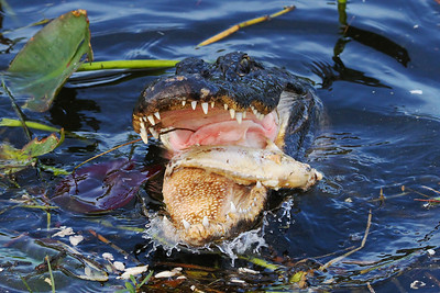 Alligator shown eating a fish that probably died during the previous week's cold snap that hundreds of fish in this waterway.