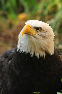 © Joseph W. Dougherty. All rights reserved.   Haliaeetus leucocephalus   (Linnaeus, 1766) Bald Eagle