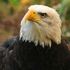© Joseph W. Dougherty. All rights reserved.   Haliaeetus leucocephalus   (Linnaeus, 1766) Bald Eagle