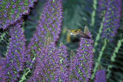 © Joseph Dougherty. All rights reserved.  Hummingbird in flight, feeding from Pride of Madeira flowers.