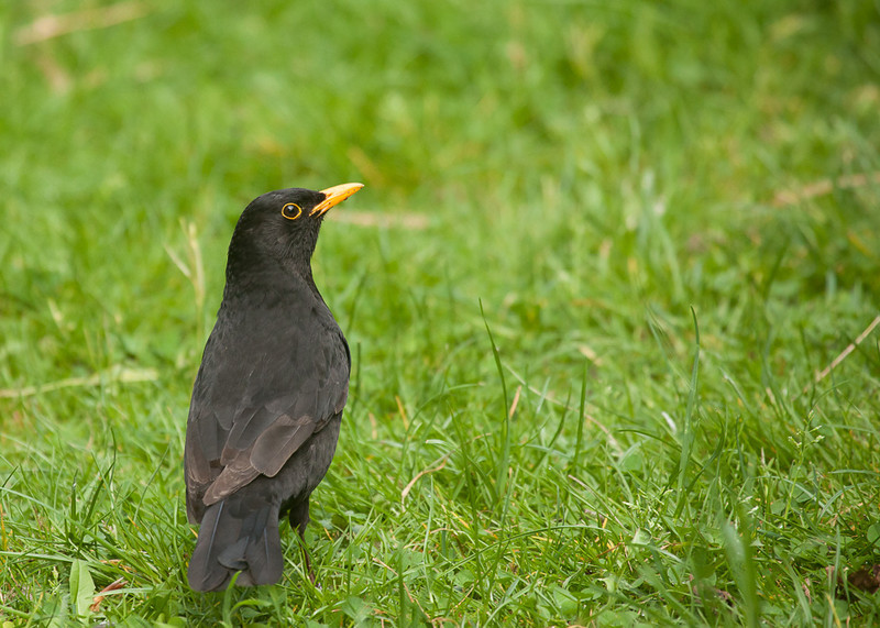 Common blackbird (turdus merula).