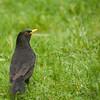 Common blackbird (turdus merula).