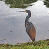 Blue Heron, Sarasota, Florida