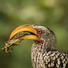 "Yellow beaked hornbill eating a grasshopper. <a href=""http://www.birdsofeden.co.za/"">Birds of Eden</a>, Plettenberg Bay, South Africa."