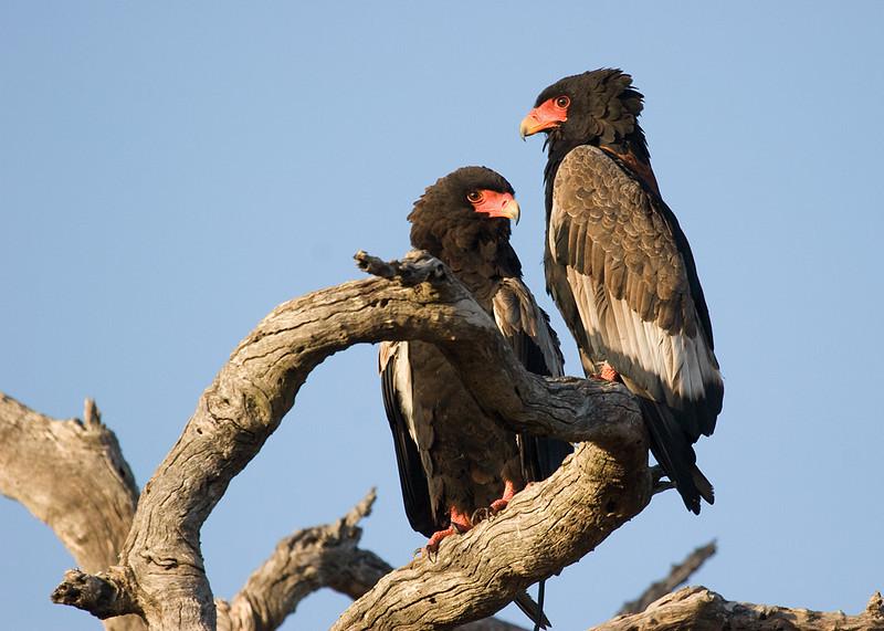 Bateleur Eagles <i>(terathopius ecaudatus)</i>. Krueger National Park, South Africa.