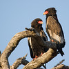 Bateleur Eagles <i>(terathopius ecaudatus)</i>. Krueger National Park, South Africa.