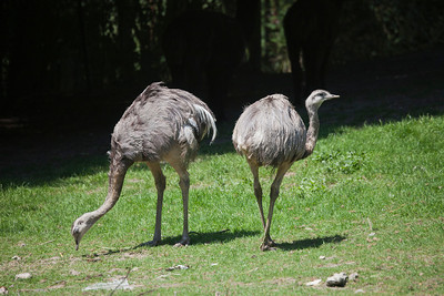 Rheas on meadow - Rhea pennata