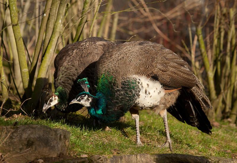 "Peacocks. <a href=""http://www.wereldtuinenmondoverde.nl/index.php?id=18"">Mondo Verde</a>, Landgraaf, Netherlands."
