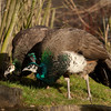 "Peacocks. <a href=""http://www.wereldtuinenmondoverde.nl/index.php?id=18"">Mondo Verde</a>, Landgraaf, Netherlands."