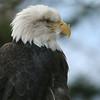 Bald eagle in captivity.