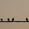 Starlings <i>(sturnus vulgaris)</i> at sundown.