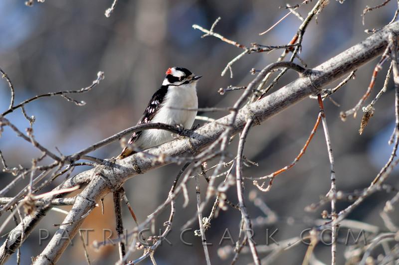 Downy Woodpecker M