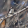 Downy Woodpecker M