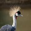 "Grey crowned crane <i>(balearica regulorum)</i>. <a href=""http://www.wereldtuinenmondoverde.nl/index.php?id=18"">Mondo Verde</a>, Landgraaf, Netherlands."