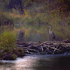 Dam Heron