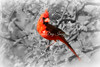 NorthernCardinal_0S4A6656_08292016