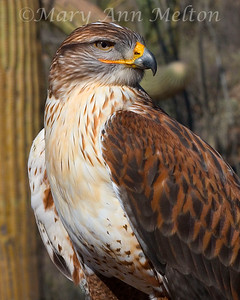 Ferruginous Hawk, Buteo regalis, Arizona Sonoran Desert Museum, captive