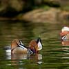"Mandarin ducks. <a href=""http://www.wereldtuinenmondoverde.nl/index.php?id=18"">Mondo Verde</a>, Landgraaf, Netherlands."