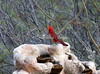 NorthernCardinal_M_IMG_0043_03302015