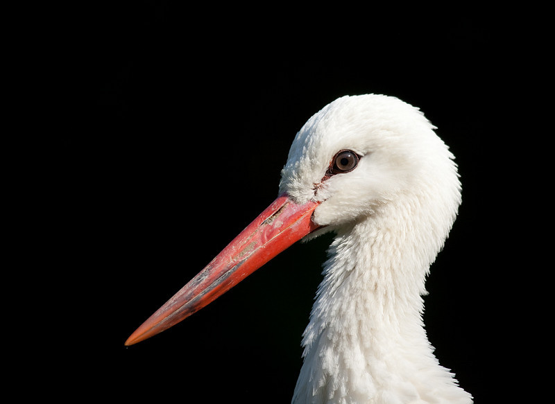 "European white stork <i>(ciconia ciconia)</i>. <a href=""http://www.wereldtuinenmondoverde.nl/index.php?id=18"">Mondo Verde</a>, Landgraaf, Netherlands."