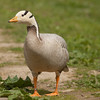 Bar-headed goose (Anser indicus).