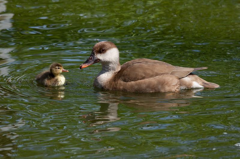 """Duck with duckling. <a href=""""http://www.wereldtuinenmondoverde.nl/index.php?id=18"""">Mondo Verde</a>, Landgraaf, Netherlands."""