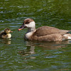 "Duck with duckling. <a href=""http://www.wereldtuinenmondoverde.nl/index.php?id=18"">Mondo Verde</a>, Landgraaf, Netherlands."