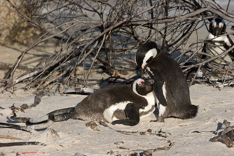 Jackass penguins at Boulder Beach, Simonstown, South Africa