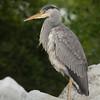 Gray Heron (ardea cinerea).
