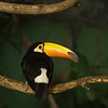 """Toco toucan <i>(ramphastos toco)</i>. <a href=""""http://www.loroparque.com/"""">Loro Parque</a>, Puerto de la Cruz, Tenerife."""