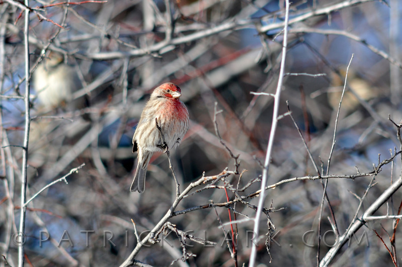 Common Redpoll M