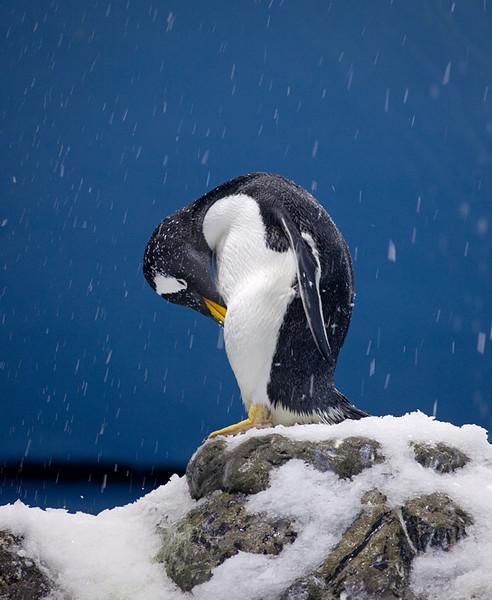 "Gentoo penguin <i>(pygoscelis papua)</i>. <a href=""http://www.loroparque.com/"">Loro Parque</a>, Puerto de la Cruz, Tenerife."