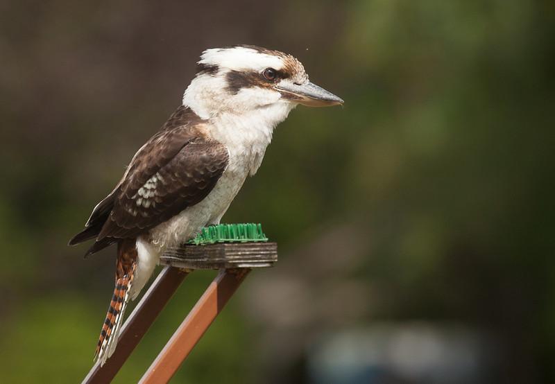 Laughing Kookaburra (dacelo novaeguineae).