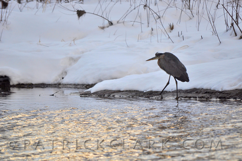 Blue Heron, Gold light