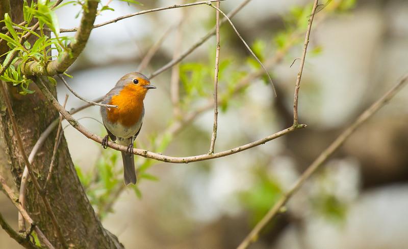 Red robin (erithacus rubecula).