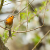 Red robin (erithacus rubecula).