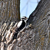 Downy Woodpecker F