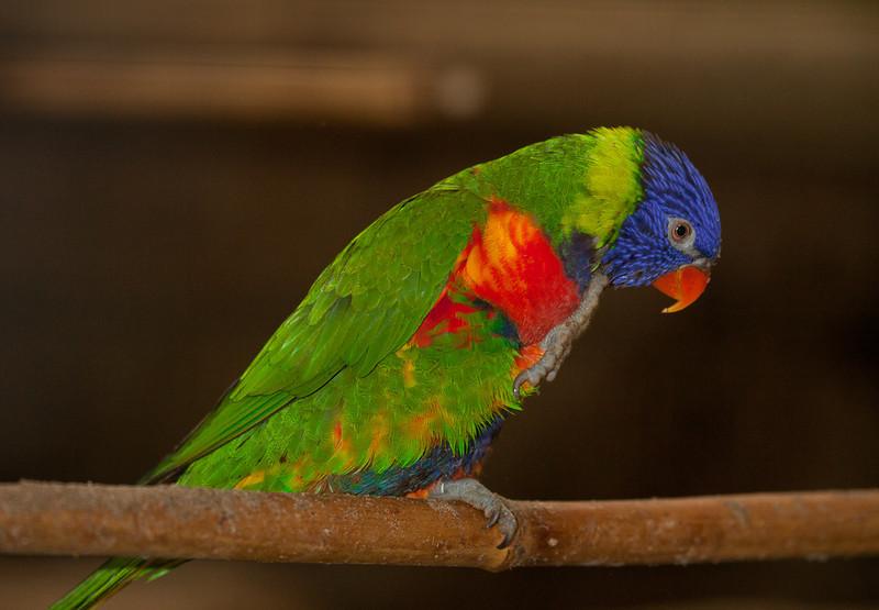 "Rainbow lorikeet  <i>(trichoglossus haematodus)</i>. <a href=""http://www.wereldtuinenmondoverde.nl/index.php?id=18"">Mondo Verde</a>, Landgraaf, Netherlands."