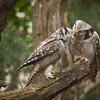 Northern Hawk Owls (aurnia ulula).