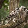 Northern Hawk Owls (aurnia ulula).