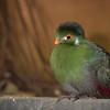 "Guinea turaco  <i>(tauraco persa)</i>. <a href=""http://www.wereldtuinenmondoverde.nl/index.php?id=18"">Mondo Verde</a>, Landgraaf, Netherlands."